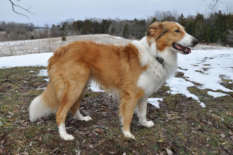 Photo Gallery - Old-Time Scotch Collie Association