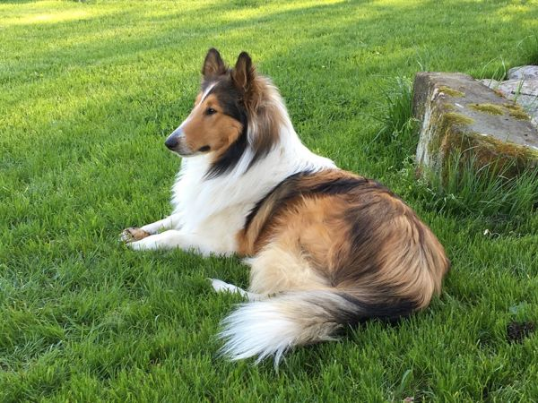 Photo Gallery Old Time Scotch Collie Association
